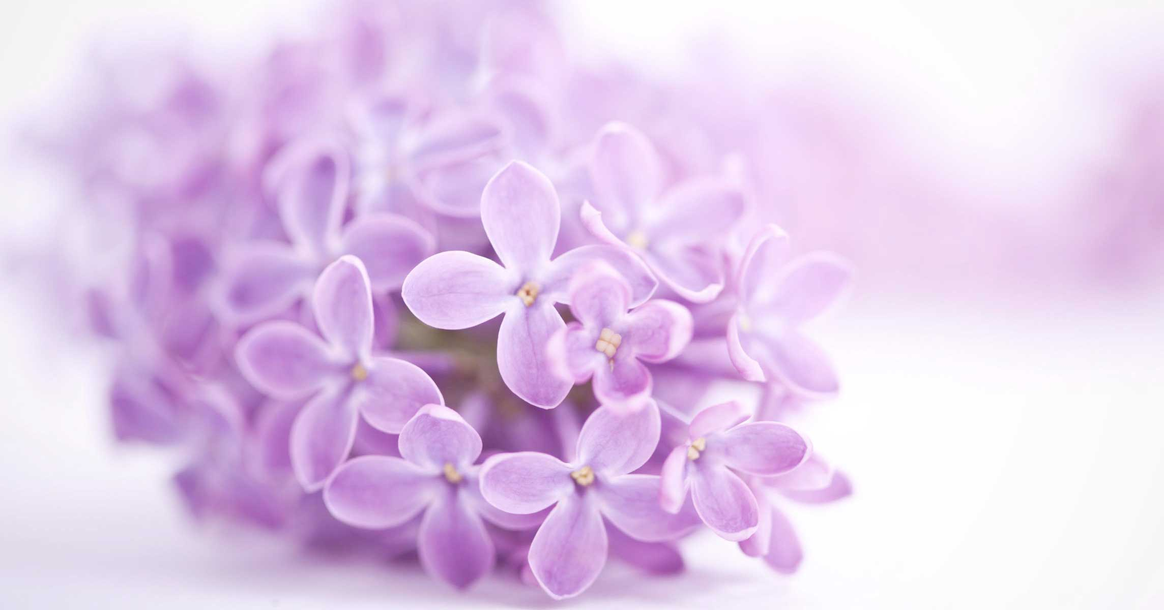 The enchanting <Br> scent of lilacs